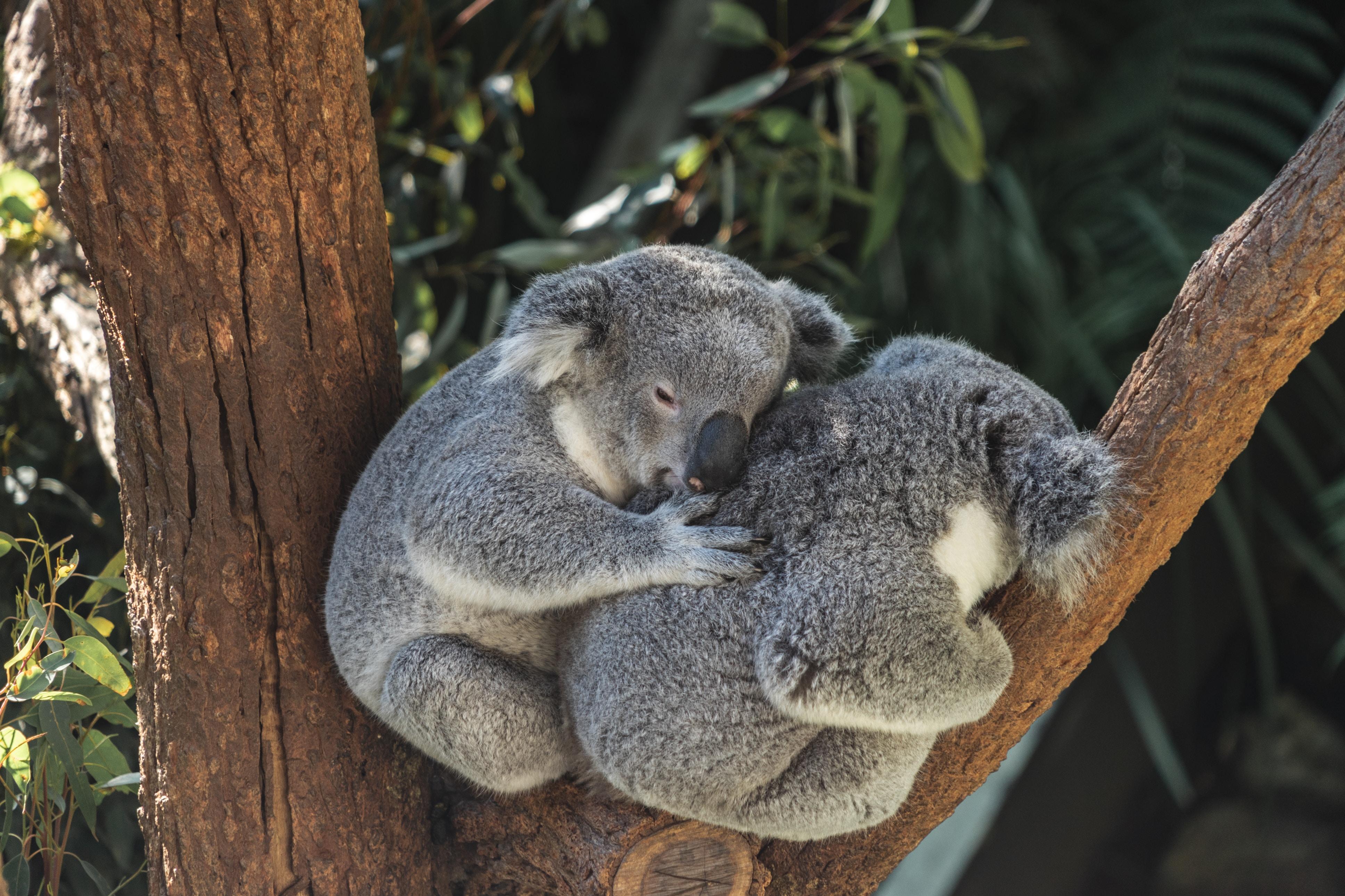 koala australia solidarietà.jpg